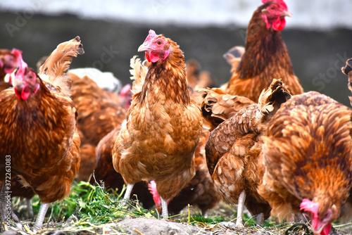 Fotografie, Obraz Chickens on traditional free range poultry farm