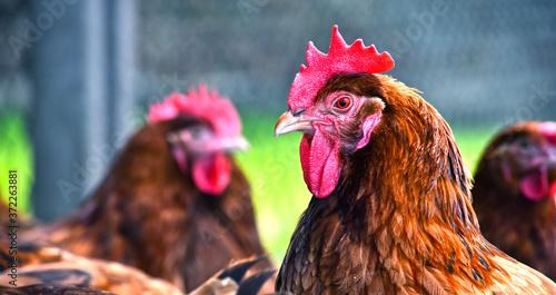 Fototapeta Chickens on traditional free range poultry farm