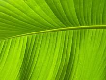 Close Up To Green Banana Leaf ...