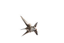 Immature Male Anna's Hummingbird With Wings Forward In Flight Looking To The Left On A White Background