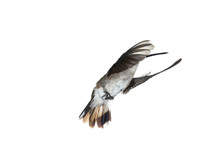 Female Anna's Hummingbird In Flight With Wings Forward On A White Background.