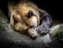 Sleeping Big Brown Bear In The Zoo