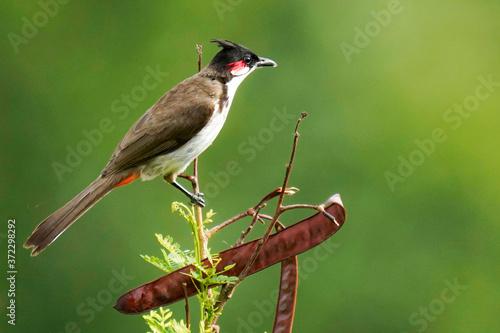 Leinwand Poster red winged blackbird