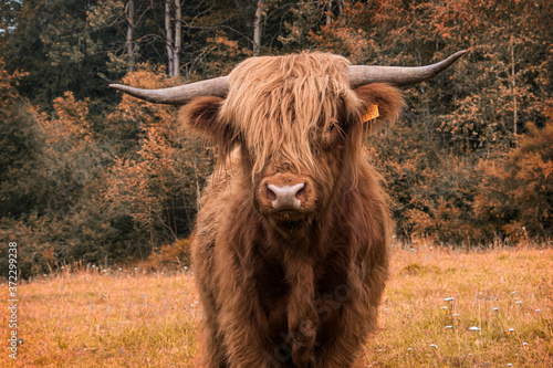 Fototapeta scottish highlander in the field
