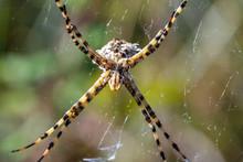 Details Of A Tiger Spider (Arg...