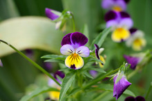 Johnny Jump Up Viola Flowers