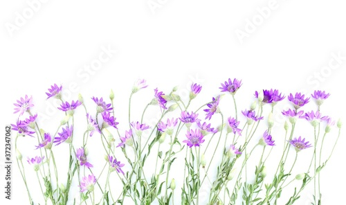 Fototapeta Xeranthemum annuum flowers, isolated on white, also known as the annual everlasting or immortelle, is a symbol of eternity and immortality. Copy space. obraz na płótnie