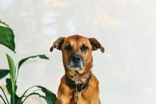 Headshot Of Big Brown Dog