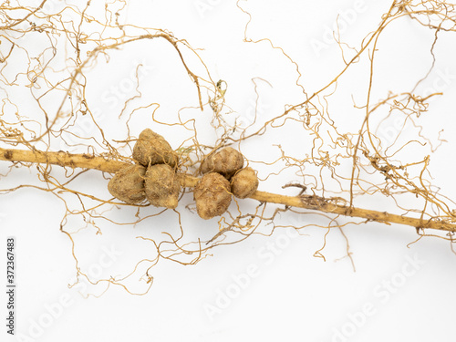 Fototapeta A rhizobium fungus that coexists with the roots of beans.