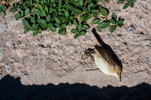 A Dead Bird (Common Grasshopper Warbler) On The Road