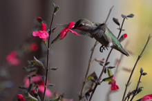 Anna's Hummingbird With Wings Forward Feeding On Colorful Flowers In The Garden