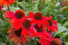 Red Coneflowers With Bee