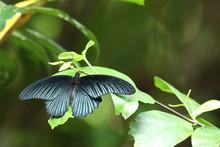 Great Mormon Butterfly On Leaf