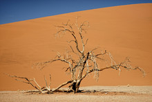 Dead Camelthorn Tree In Namib-Naukluft Park In Namibia, Africa.