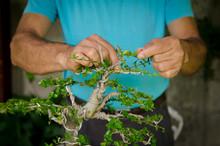 Man Working In A Bonsai Tree In A Garden