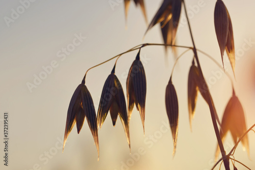 Plakaty do sypialni  oats-field-close-up-at-sunset-agricultural-background