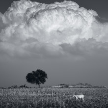 Cow Under The Big Cloud