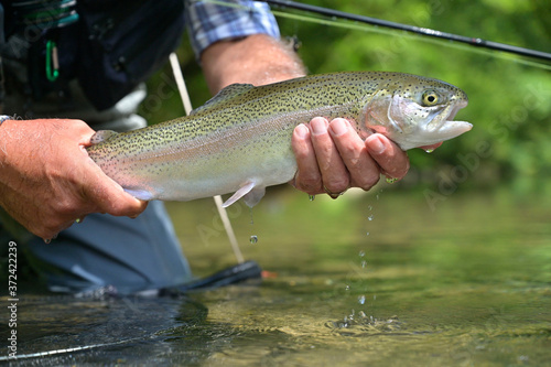 Fototapeta beautiful rainbow trout caught by fly by a sport fisherman
