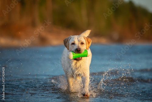 happy labrador dog fetching a toy from water on the beach Fototapet