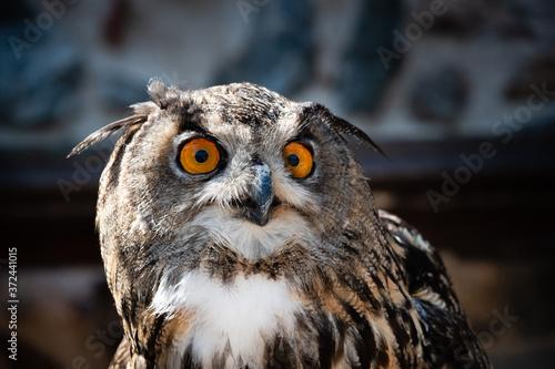 Obraz na plátně Close-up on a Great horned owl