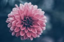 Pink Dahlia Flower In Summer ...