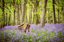 Bluebell Woods In Bloom, Guildford, Surrey, England