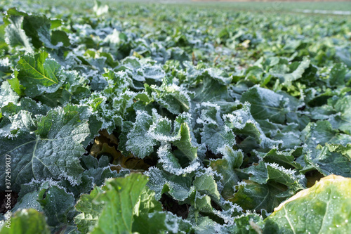 Fototapeta ice and frost on canola leaves, rapeseed field after harvest obraz