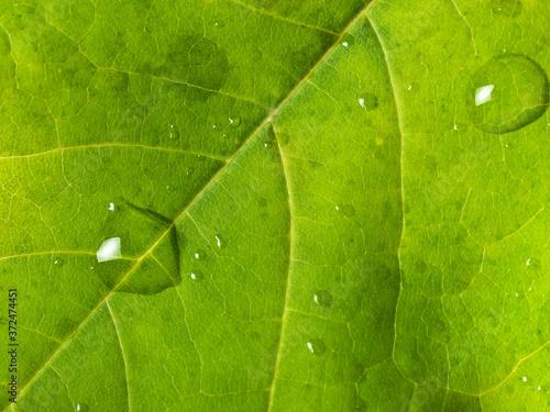 Fotomural Maple leaf close up
