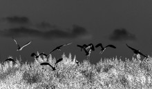 Flight Of White Herons Over Th...