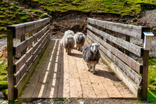 Herdwick Sheep Cross A Wooden Bridge In The Lake District National Park, Cumbria, UK.   The Lake District Is A UNESCO Heritage Site.