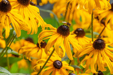 Yellow Black-eyed Susan Flower...
