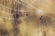 Spider Web Caught Small Fly In Sun Rays Covered By Dew.