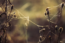 Dry Meadow Plants Covered By Morning Dew And Spider Web In Sun Rays.