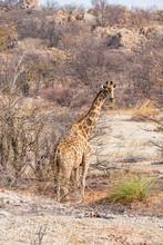 Big Giraffe Look Back