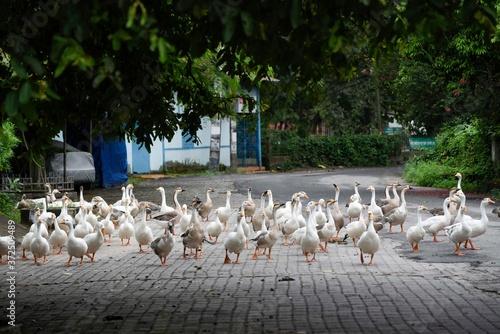 Fotografie, Tablou Gaggle of Geese walking on a street, during weekend COVID-19 lockdown, Guwahati