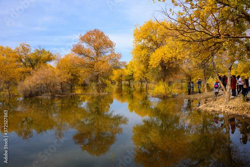 Fototapety, obrazy: Beautiful golden trees at Jinta Desert Populus Euphratica Huyang forest, Jiuquan, China
