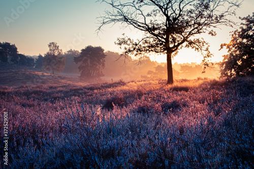 Fototapeta Westruper Heide, Heideblühen, Sonnenaufgang