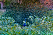 Indian Peacock With His Tail Feathers Fanned Out