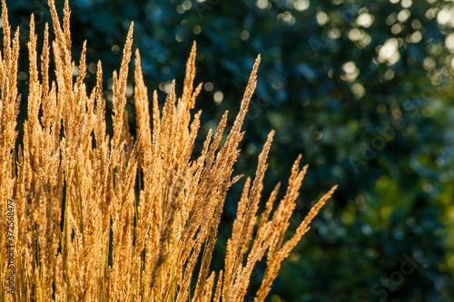 Obraz na plátně Glowing, golden feather reed grass with a dark background of shrubs