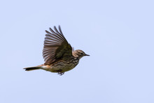 Meadow Pipit Flying Across The Sky