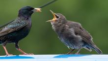 Adult Starling Feeding It's Yo...
