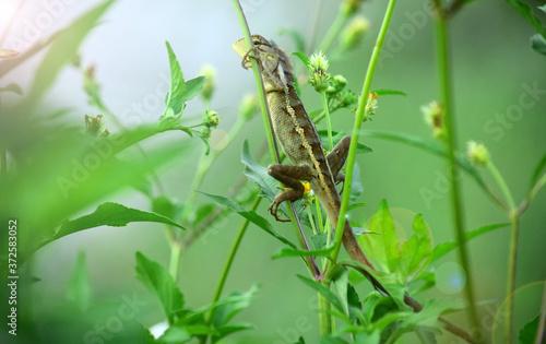 Oriental garden lizard (Calotes versicolor) - Garden lizards are relaxing on tree branches, camouflage garden lizards Fototapete