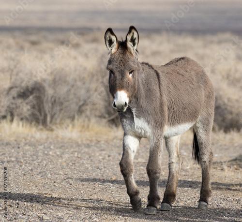 Canvas Print Donkey