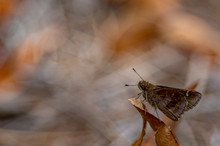 Horaces Duskywing Skipper Surveying The Flowers