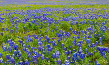 Field Of Texas Bluebonnets (Lupinus Texensis), Brenham, TX, USA