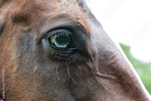 Photo American Paint Horse mare with blue eyes close up