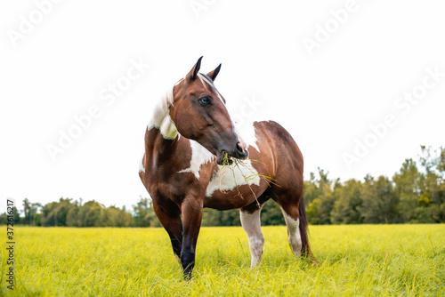 Fototapeta American Paint Horse mare with blue eyes, Westren breed grazing in a green field