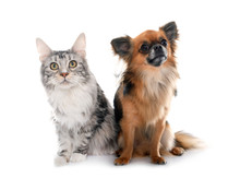 Long Hair Chihuahua And Maine Coon