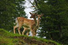 Two Young Sika Deer Came Out Of The Forest.