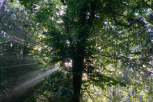 Early Morning Sun Shining Through Hornbeam Branches